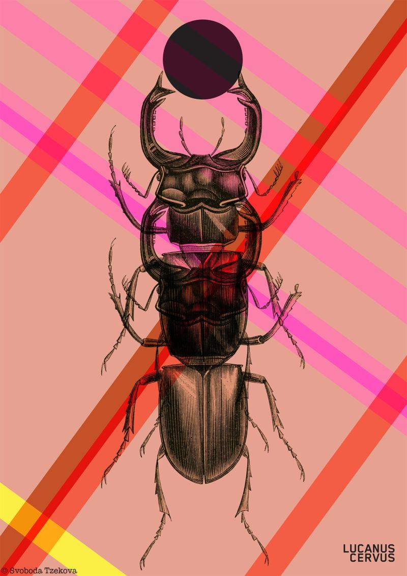 Lucanus-cervus_04_web copy